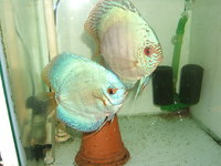 YOUNG HOME BRED DISCUS SCOTLAND