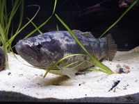 14 hoplias malabaricus wolf fish for sale at aquarist