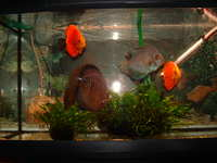 Discus Fish For Sale x 5