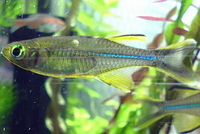 Celebes rainbowfish eggs for sale telmatherina ladigesi for Koi fish eggs for sale