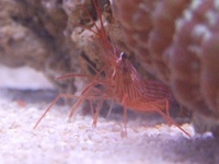 True Peppermint Shrimp only �99 each postage available