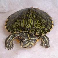 Yellow Bellied Turtle terrapins only � each and no offers please
