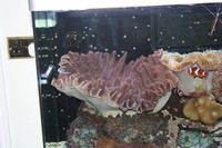 Mushroom Coral for sale