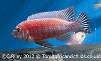Tonys African Cichlids - Most diverse range of qualityUK bred Malawi Cichlids Delivered to your door. Orders over �0 FREE COURIER