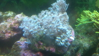 Red Sea Pulsing Xenia coral not a frag � in Castleford.