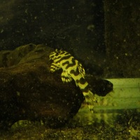 l134 pleco wild semi adults � each at ferrybridge aquatics