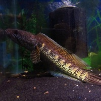 gold cobra snakeheads 20 cm wild at ferrybridge aquatics