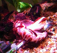Calico Bristlenose babies, Assassin Snails, Cherry Shrimp, Clayton heights, Bradford