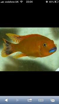 "Wanted Pseudotropheus sp. ""Williamsi North"" Malawi"