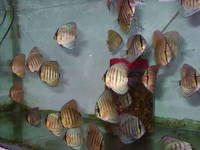 Penang Discus (north east)