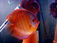 Discus pair, proven breeding pair. SOLD.