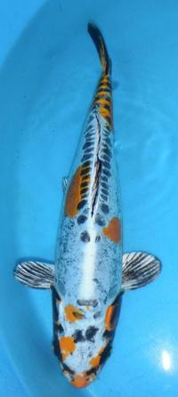 Koi Carp For Sale At Aquarist Classifieds
