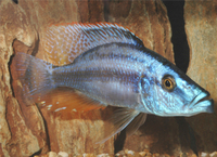 Chipokee Cichlid : MALAWI CICHLIDS FOR SALE GREAT PRICES size: S - M - L at Aquarist ...