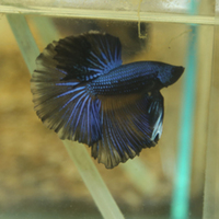 Sale now on at aquarist classifieds for Giant betta fish for sale
