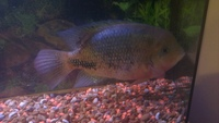 What african cichlid is this? if it is one?