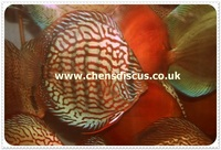 Chens Discus join us on Facebook