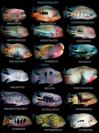 South american cichlids list - photo#1