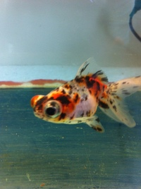 CALICO SHUBUNKIN GLOBE EYE FANCY GOLDFISH