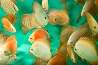 CHILTON AQUATICS. MAKING FISH KEEPING SPECIAL. THE BEST QUALITY OF TROPICAL/COLDWATER AND MARINE FISH IN THE NORTH EAST.