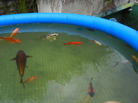 KOI OF ALL SIZES AND VARIETIES FOR SALE