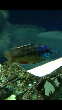 Cichlid Identification THANKS FOR THE RESPONSE PPL
