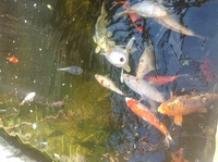 Koi and pond equipment for sale