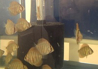 Discus Fish 2 inches