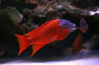 ALL MALAWI AND TANGANYIKAN CICHLIDS AVAILABLE FOR ORDER. 30% OFF UK RETAIL PRICE GUARANTEED.