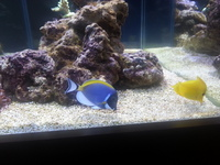 Powder Blue Tang SOLD