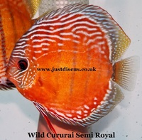 Discus fish for sale. Buy 5 get 2 free or buy 10 get 5 free. Thousands in stock and the biggest selection in the U.K. Cheapest prices guaranteed.