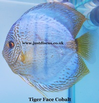@NEW LOWER PRICES@ JUST DISCUS is the U.K s largest and best professional Discus breeder and our Discus are bred from world class and global show wining Discus.