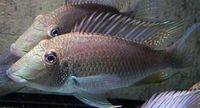 (TAKING NO MORE ORDERS TILL MAY-JUNE) South American Imports @ (Catfish Aquatics) � APC Next Day By 10.AM (FULL 24H DOA POLICY)