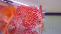 DLDISCUS Top Quality Discus To Both Trade And Retail