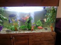 FOR SALE cichlids and 5ft x 3ft x 2ft tank