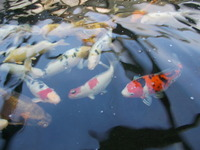 30+ Koi FOR SALE