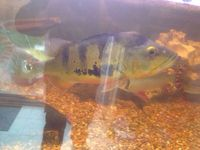 Peacock bass, Tiger shovelnose and Niger catfish for sale