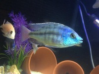 Breeding Groups and Malawi for SALE