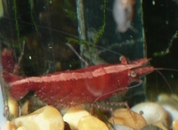 15 red cherry shrimps, �.00