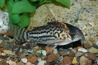 WANTED Corydoras any sort
