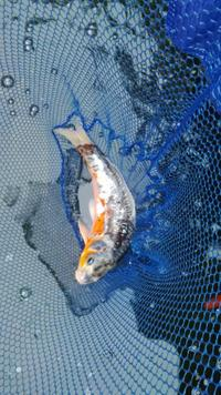 Large jap english koi for sale at aquarist classifieds for Jumbo koi for sale