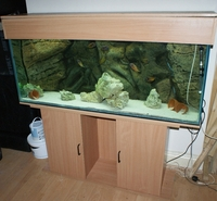 Very large tropical fish for sale albino oscar silver for Silver dollar fish for sale