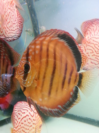 CAROPHYLL PINK POWDER 12gram great for colouring red discus