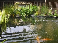 WANTED - VERY BEST PRICES PAID FOR KOI, GOLDFISH, ORFE & POND EQUIPMENT
