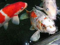 Cash Paid for Pondfish / Koi / Filters / Pumps etc