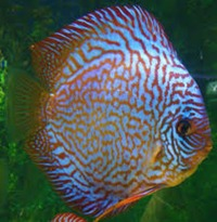BREEDING PAIR OF TURQUOISE DISCUS ( PLUS FREE WILD CORYDORAS) QUICK SALE