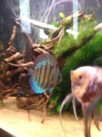 5 blue Turks and one blue cobalt discus �0