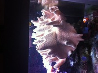 Very large leather coral