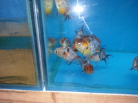 Fancy goldfish calico ranchu � .50 each