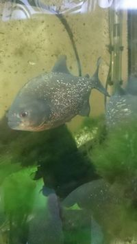 trio red bellied piranhas for sale