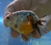 Ranchu white and calico